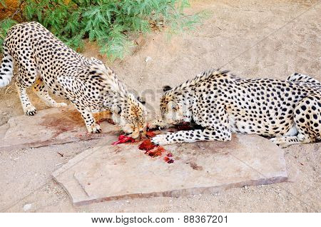 Two Cheetahs in in Captivity, Feeding