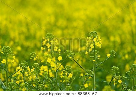 Oilseed Rapseed Flower Close Up In Cultivated Agricultural Field