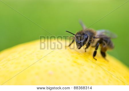 Close Up Of A Bee Inspecting A Lemon