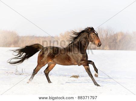 portrait Akhal-Teke horse