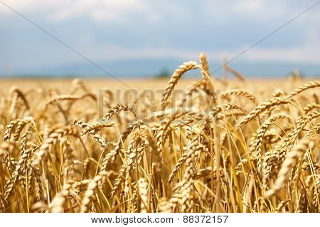 wheat field with blue sky and clouds and mountain in background