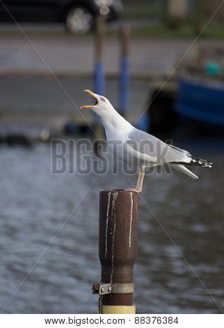Herring Gull Calling On Metal Pole