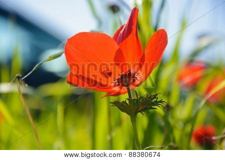 Blooming Red Anemones