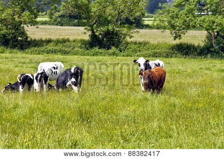 Grazing cows on English countryside on hot summer day