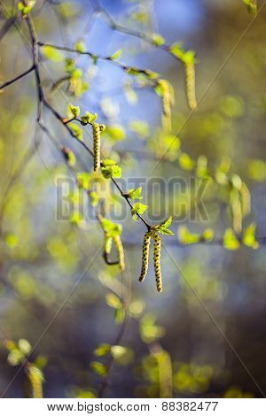 Birch tree catkins in spring