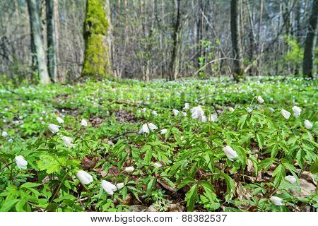 Snowdrops in the forest.