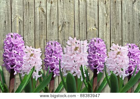 Pink And Lilac Hyacinth