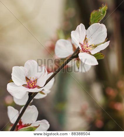 White fruit tree flower blossoming