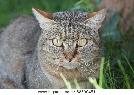 Portrait Of An African Wilcat