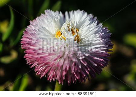 Blossom of a white aster.
