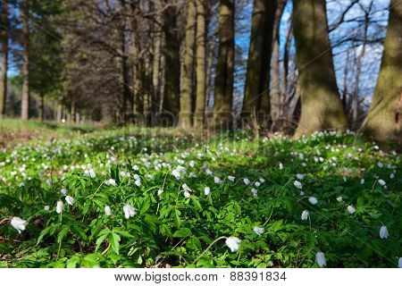 White Flowers In The Forest