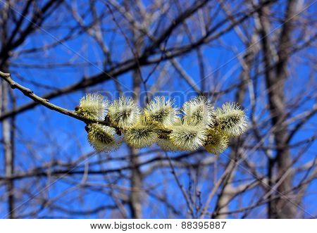 Branch Of A Blossoming Willow