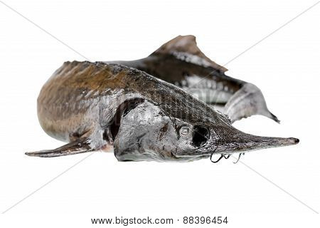 Sturgeon Fish Is Isolated On White Background, Closeup
