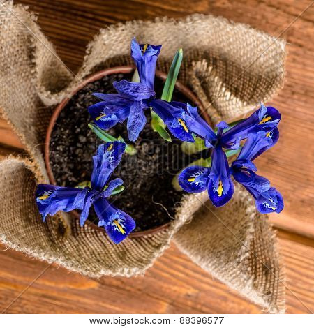 Top Down Of Iris Flowers In Burlap On Wooden Background, Closeup