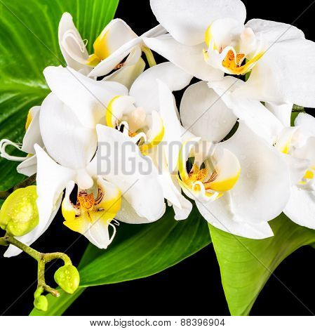 Beautiful Blooming White Orchid Flower, Phalaenopsis And Green Leaves With Dew On Black Background,
