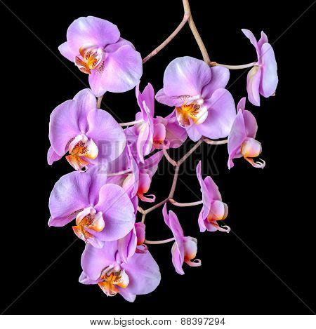 Beautiful Blooming Twig Of Purple Orchid Phalaenopsis Is Isolated On Black Background, Closeup