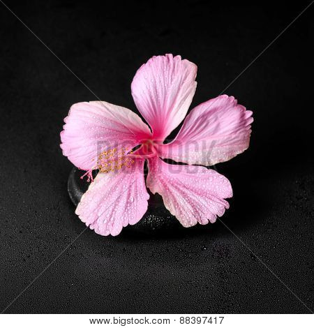 Spa Background Of Pink Hibiscus Flower On Zen Basalt Stone With Drops, Closeup