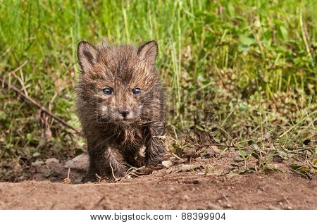 Red Fox Kit (vulpes Vulpes) Creeps Forward Out Of Den