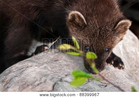 Young Fisher (martes Pennanti) Peers Between Leaves