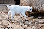 Single White Baby Goat Surrounded By Other Domesticated Animals On The Farm poster