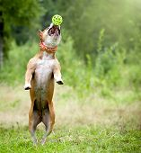 picture of american staffordshire terrier  - An american staffordshire terrier catches the ball - JPG