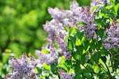 image of lilac bush  - purple lilac bush blooming in May day - JPG