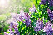 picture of lilac bush  - purple lilac bush blooming in May day. City park ** Note: Visible grain at 100%, best at smaller sizes - JPG