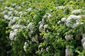 image of meadowsweet  - view of bushes blooming white spiraea in garden
