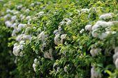 image of meadowsweet  - view of bushes blooming white spiraea in garden  - JPG