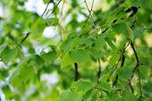 pic of linden-tree  - deciduous tree in height of spring - JPG