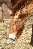 picture of horses eating  - photo of the przewalski - JPG