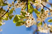 image of tame  - spreeng tame white flowers blooming tree branch