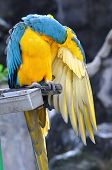 picture of green-winged macaw  - Close up beautiful macaw bird cleaning wings - JPG