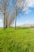 picture of row trees  - Rows of tall trees in a colorful landscape in the Netherlands - JPG