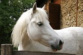 stock photo of pony  - Closeup of a white pony horse. Pony looking over the corral door