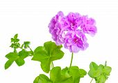 picture of geranium  - beautiful blooming purple geranium flower with green leaves is isolated on white background - JPG