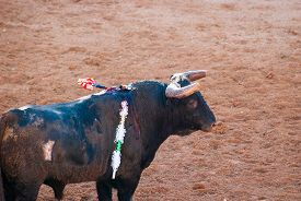 pic of bullfighting  - Bull in bullfight arena during bullfights Portugal - JPG