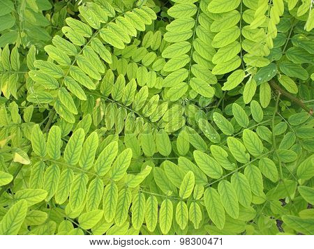 Bright Green Leaves And Small Acacia With Dew Drops
