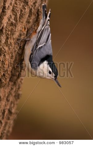 Blanco Breasted Nuthatch