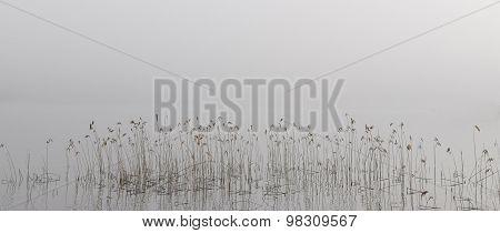 Reeds In Morning Fog