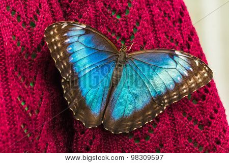 Blue Morpho Butterfly on sweater