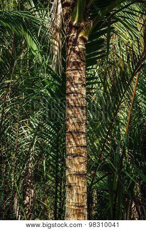 Coconut Stem