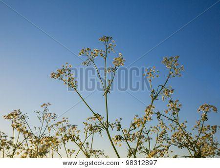 Hemlock. Wild Plants
