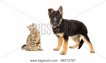 Cat Scottish Straight and a German Shepherd puppy