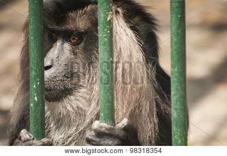 Monkey head closeup