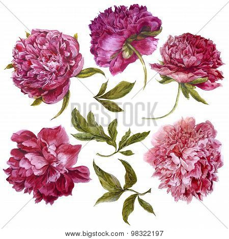 Set of watercolor dark pink peonies, separate flower leaf sprigs