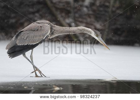 Great Blue Heron (ardea Herodias) Hunting On A Partially Frozen River In Early Spring