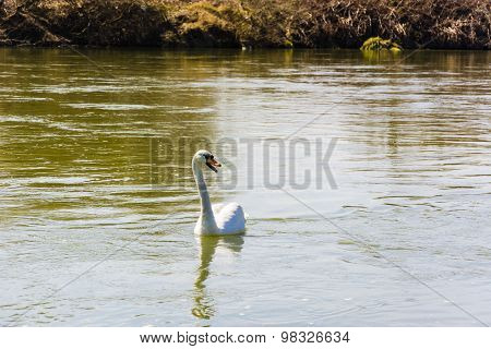 Mute Swan (cygnus Olor) Floats On The River