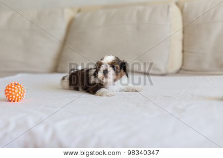 Little White Colored Shih-tzu On The Soffa