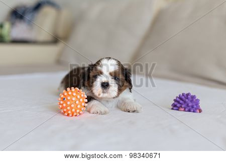 Furry Shih-tzu Pup With Two Toys